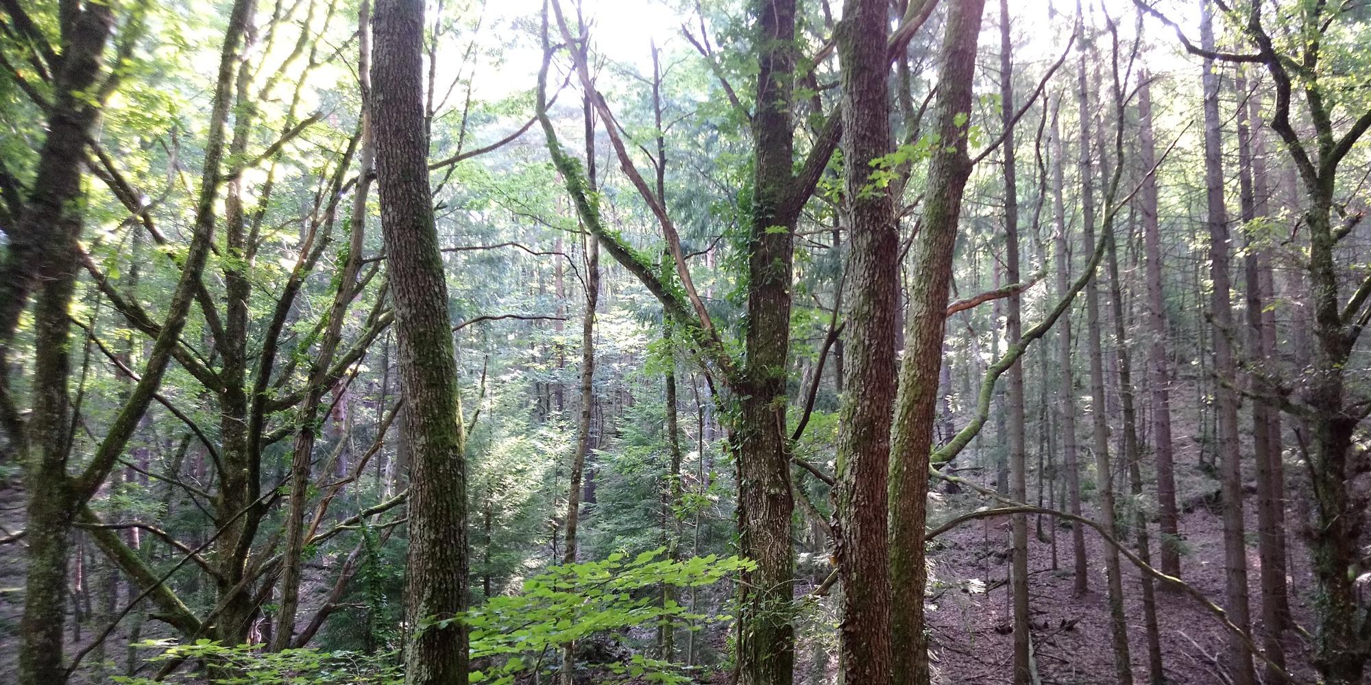 Forêt ardéchoise